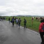 Des vaches (presque) folles de voir autant de citadins ! On se demande qui suit qui…